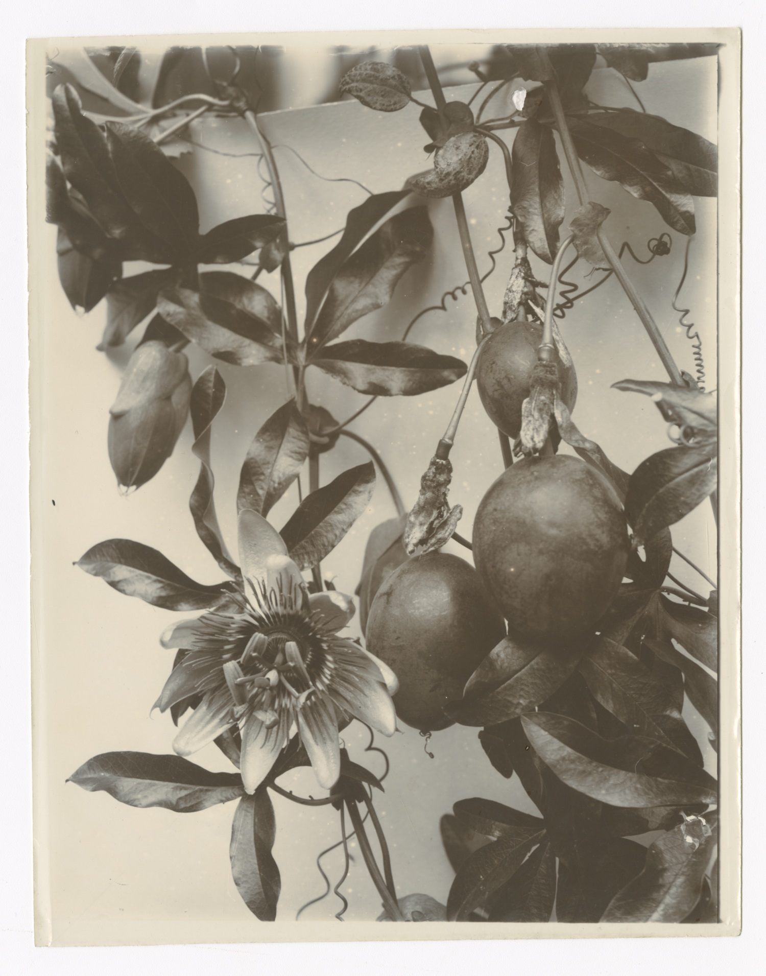 "Amelia Elizabeth Gimingham, ""Passion Flower and Fruit"", 1897. Courtesy Archive of Modern Conflict"