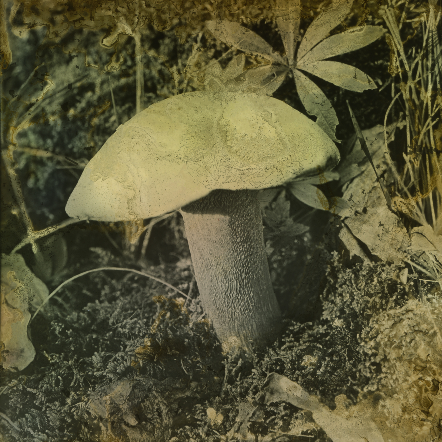 "Dr. Conrad Theodore Green, ""Agaricus Sylvaticus (Blushing Wood Mushroom)"", before 1930"